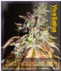 Feminized Seeds Co Viva Sativa Female 5 Seeds